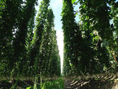 Inside a Field of Hops — Stock Photo