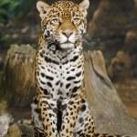 Постер, плакат: Jaguar