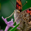 Painted Lady - Foto Stock