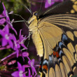 Swallowtail Close-up - Foto Stock