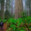 Redwoods — Stock Photo #7775218