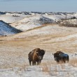 Buffalo in Winter — Stock Photo #7775621