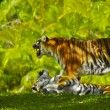 Bengal Tigers - Foto Stock
