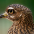 Spotted Dikkop - Foto Stock