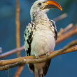 Red Billed Hornbill - 图库照片