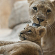 Lion Cub and Adult Lioness — Stock Photo