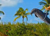 Golfinho — Foto Stock