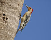 Woodpecker — Stock fotografie
