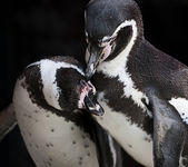 Pingviner — Stockfoto