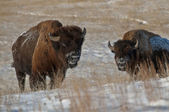 Buffalo in Winter — Stock Photo