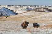 Buffalo in Winter — 图库照片