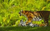 Bengal Tigers — Stock Photo