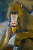 Baboon — Foto de Stock