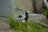 Blacksmith Plover — Stock Photo