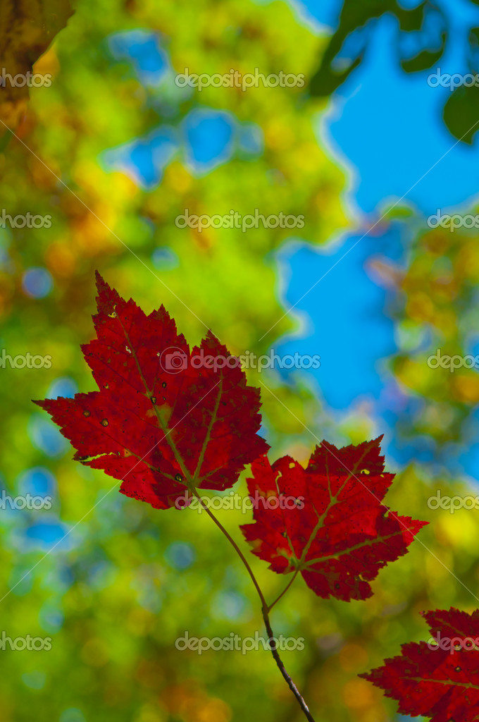 Colorful Bright Vibrant Leaves against blue sky — Stock Photo #7774754
