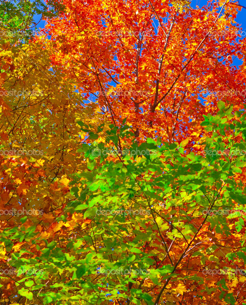 Colorful Bright Vibrant Leaves against blue sky — Stock Photo #7774756
