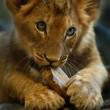 Little Lion — Foto Stock