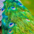 Peacock's tail — Stock Photo