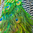 Stock Photo: Peacock's tail