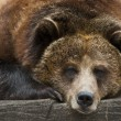 Grizzly — Stock Photo #7857342