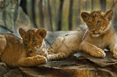 Little Lions — Stock Photo
