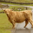 Scottish highland cow — Stock Photo #7943058