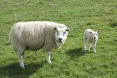 Sheep and lamb looking at me! — Stock Photo