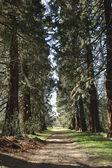 Avenue of redwoods — Stock Photo