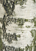 Birch-tree bark texture — 图库照片