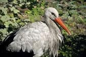 Stork closeup — Stock Photo