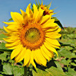 Girasol — Stock Photo