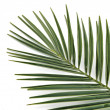 Hoja de palmera — Stock Photo