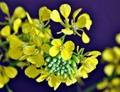 Flores meneses — Stockfoto