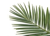 Hoja de palmera — Foto de Stock