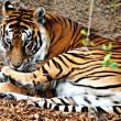 Tigre a rayas - Stockfoto