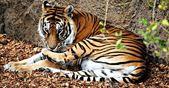 Tigre en rayas — Stockfoto