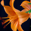 Only beautiful orange lily — Stock Photo