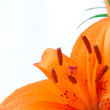 Only beautiful orange lily — Stock Photo #7775885