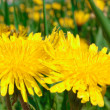 Two big yellow dandelions — 图库照片
