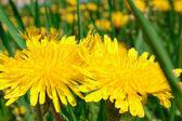 Two big yellow dandelions — Stock Photo