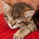 Sleepy Kitten — Stock Photo