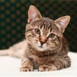 Tabby cat watching — Stock Photo #7779141