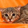 Stok fotoğraf: Cat with big eyes on orange