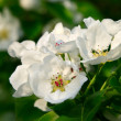 Blossoming branch of an apple-tree — Stock Photo