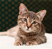Tabby cat watching — Stock Photo