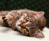 Tabby Cat laying on side — Stock Photo