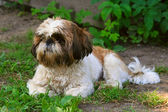 Shih Tzu dog on green grass — Stock Photo