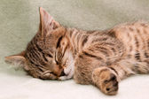Tabby cat sleeps — Photo