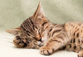 Tabby cat sleeps on bed — Stock fotografie