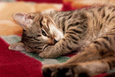 Striped Kitten sleep — Stock Photo